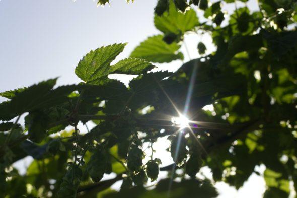 Vihreitä puiden lehtiä, joiden välistä heijastuu kirkasvalonsäde.